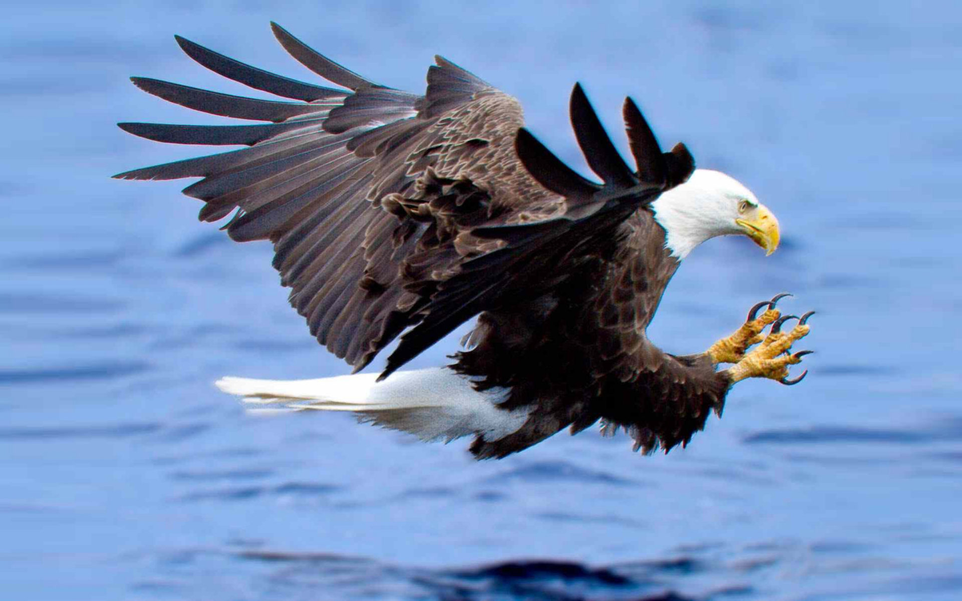 Fall Beach Widescreen Wallpaper Attack Of The Bald Eagle Hunting For Fish In The Lake