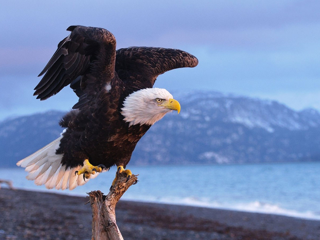 Hunting Iphone Wallpaper Bald Eagle Life Expectancy 20 Years In The Wild Hd