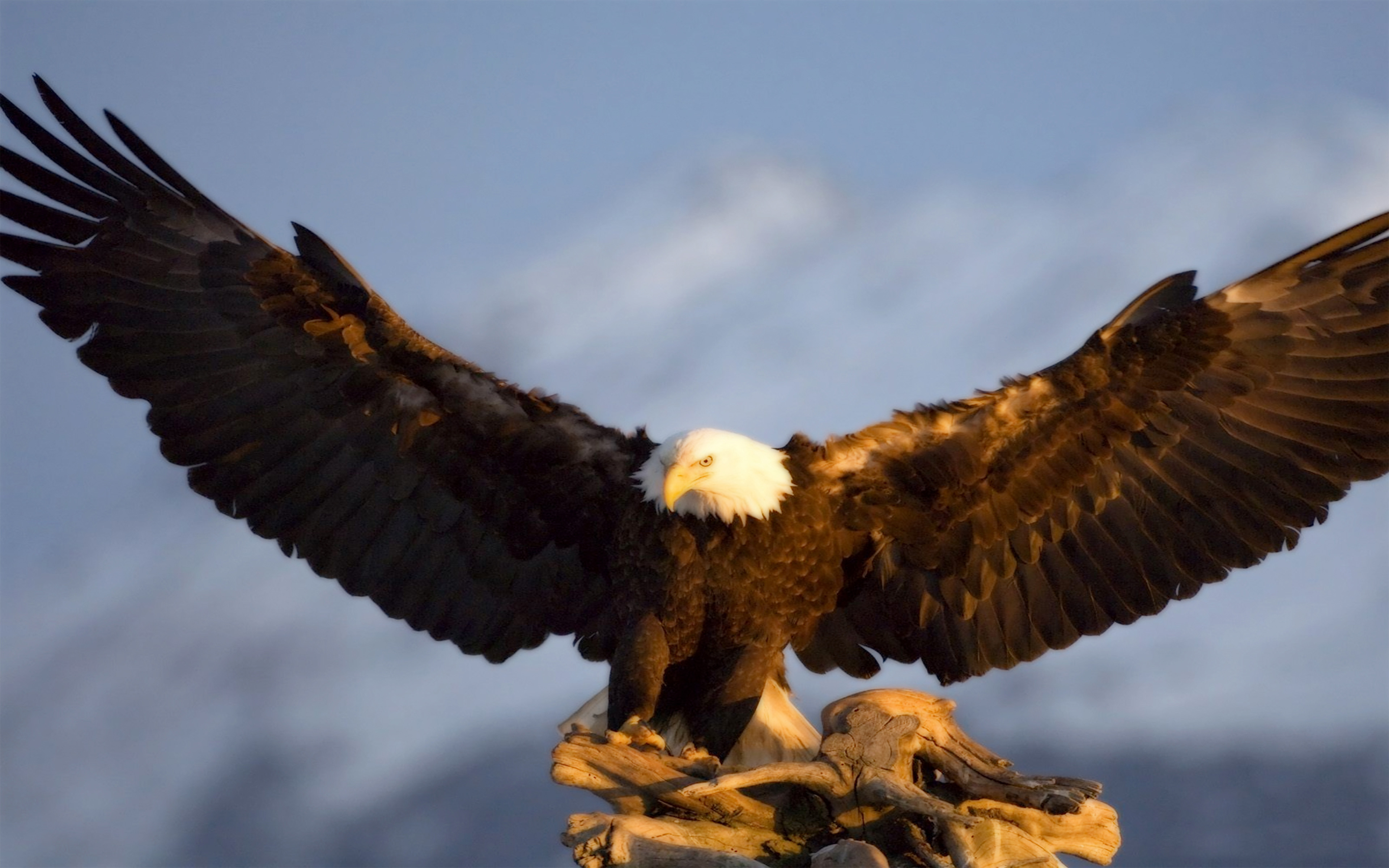 All White Iphone Wallpaper Bald Eagle Wingspan 5 9 7 5 Ft Hd Wallpaper Wallpapers13 Com