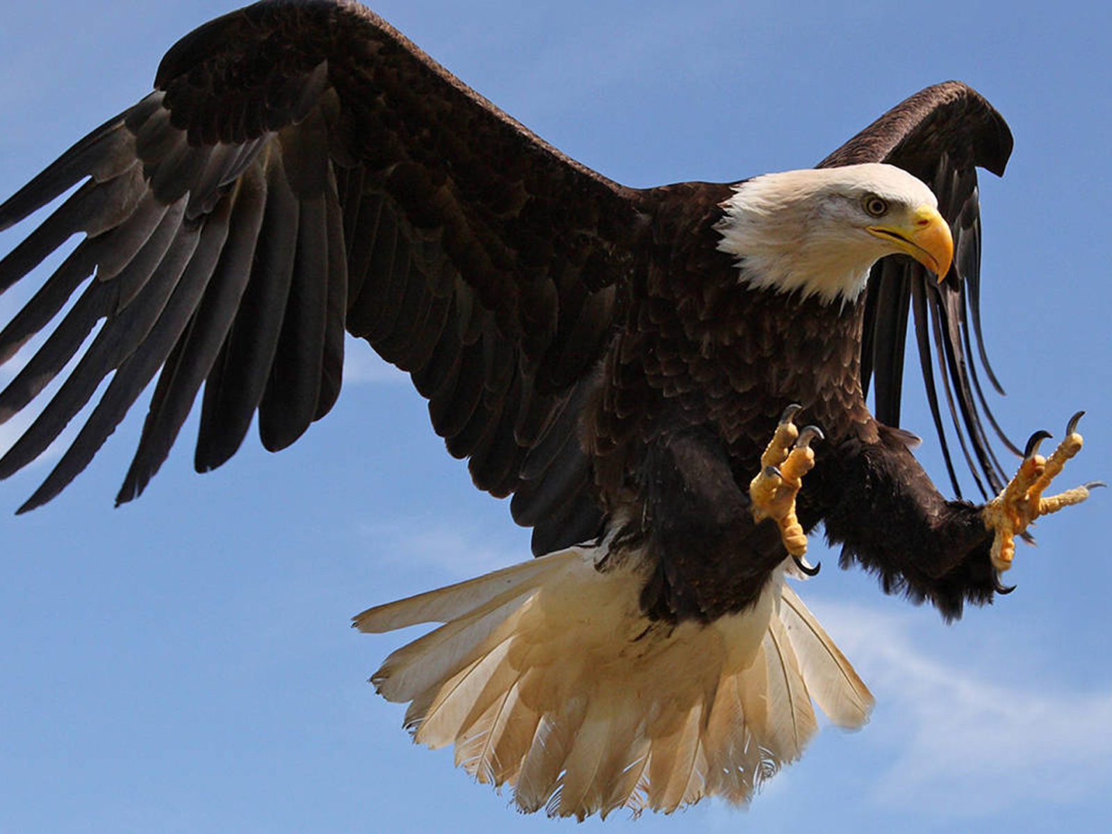 Flamingo Iphone Wallpaper Bald Eagle Attack With Strong Sharp Claws Desktop