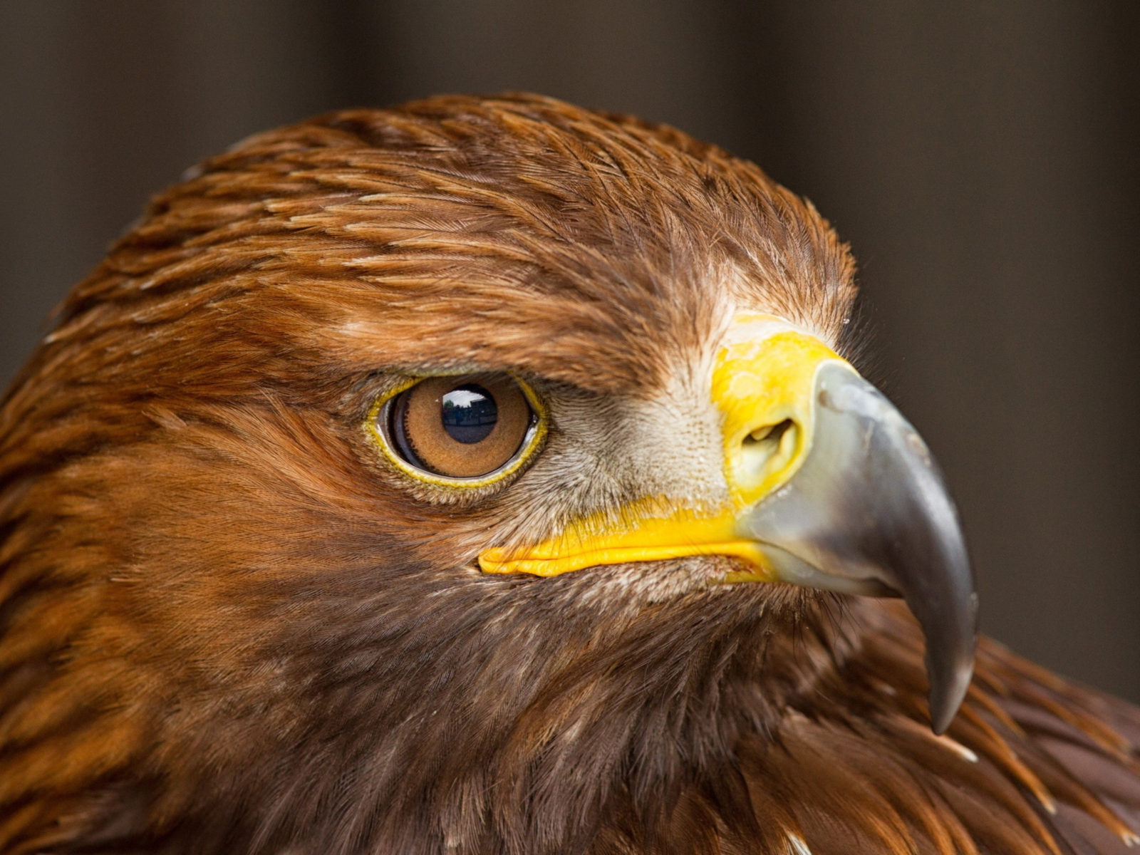 High Resolution Fall Wallpaper Eagle Bird Predator Head Beak Eyes Close Up 3840x2400