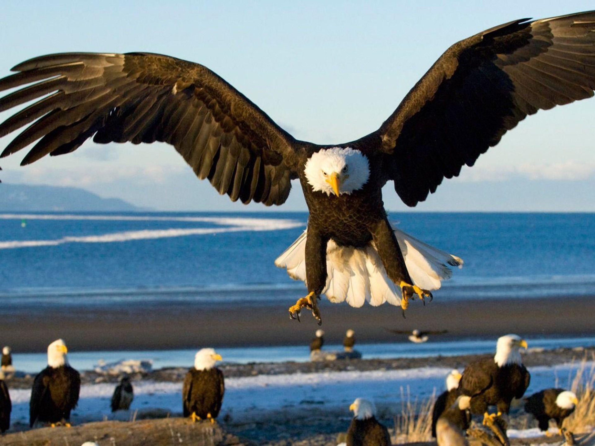 Hawk Iphone Wallpaper Eagle With Spread Wings Landing Hd Wallpapers For Laptop