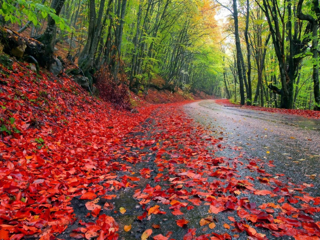 Free Fall Screen Wallpaper Fall Forest Road Red Fallen Leaves Damp Earth Forest With