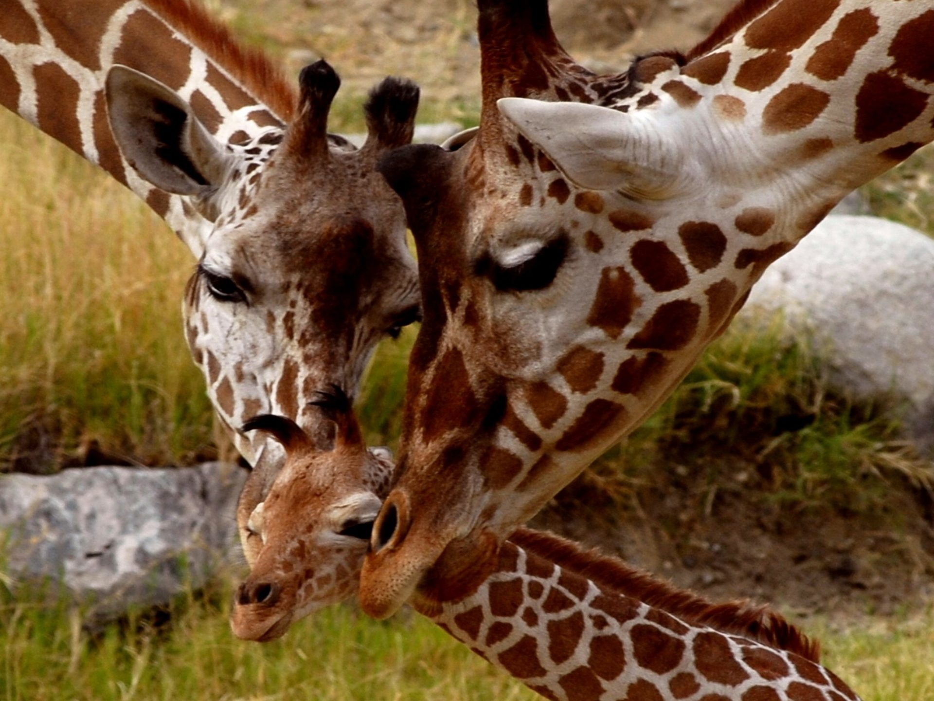 Free Hd Wallpaper For Android Tablet Giraffe Small Cub Parental Love Animals Of Africa Hd