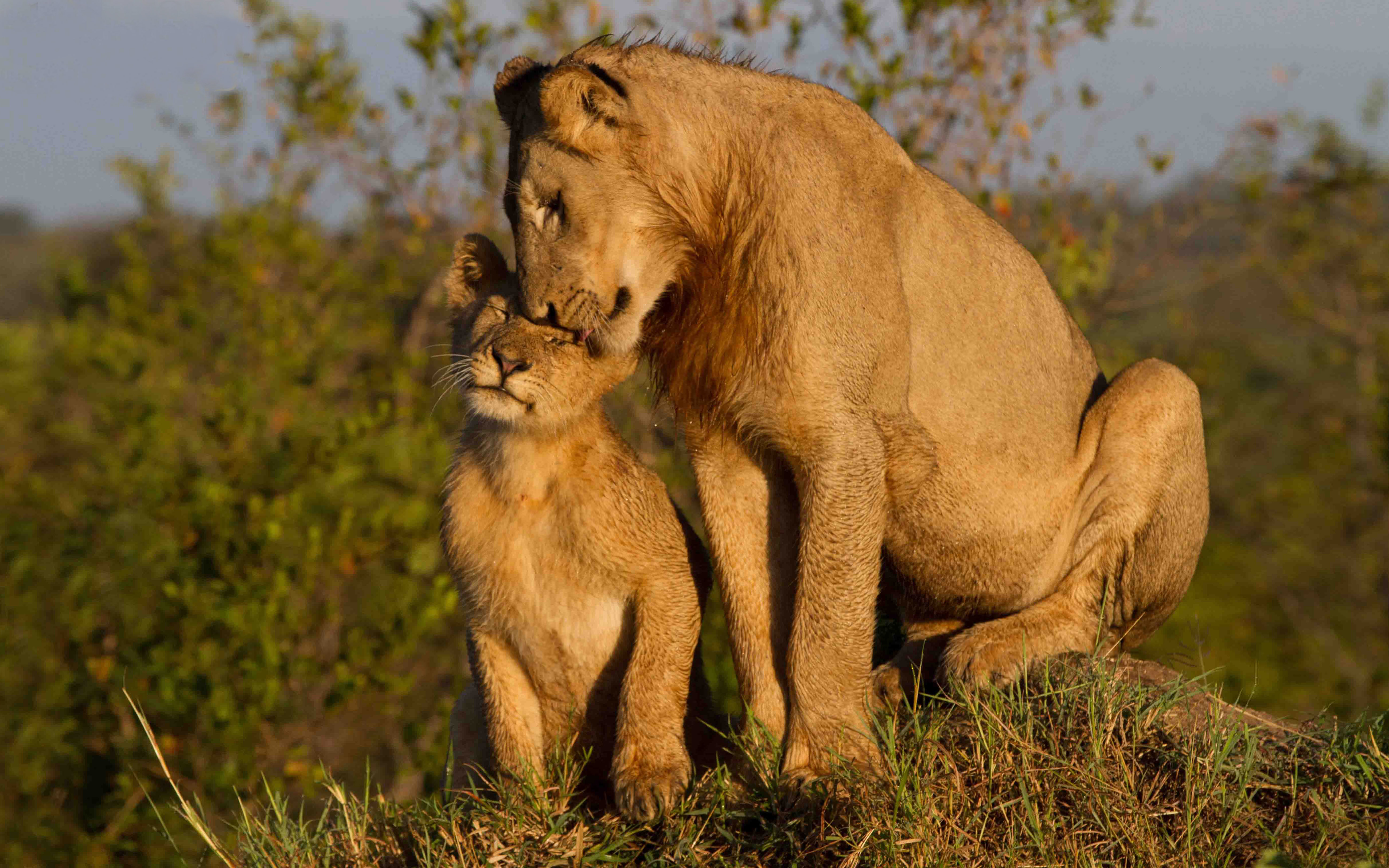 Hd Lock Screen Wallpaper Android Maternal Love Lioness With Cub Widescreen Free Download