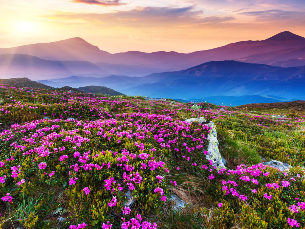 New Hd Wallpapers For Pc Free Download Nature Landscape Beautiful Mountain Flowers And Purple