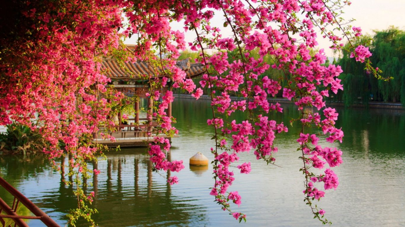 Hd Fall Wallpap Pink Spring Flowers In The Park Chinese Kunming China Hd
