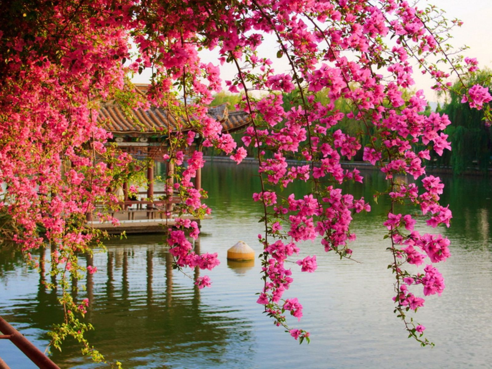 Fall Wallpaper For Desktop 1920x1080 Pink Spring Flowers In The Park Chinese Kunming China Hd