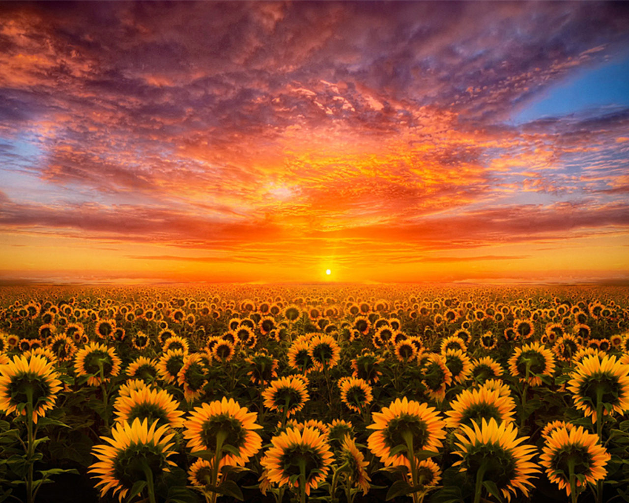 Summer Android Wallpaper Quotes Sunset Red Sky Cloud Field With Sunflower Hd Desktop