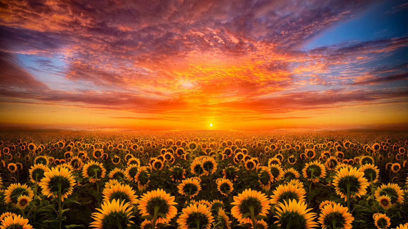 Free Download Hd 3d Wallpapers For Android Sunset Red Sky Cloud Field With Sunflower Hd Desktop