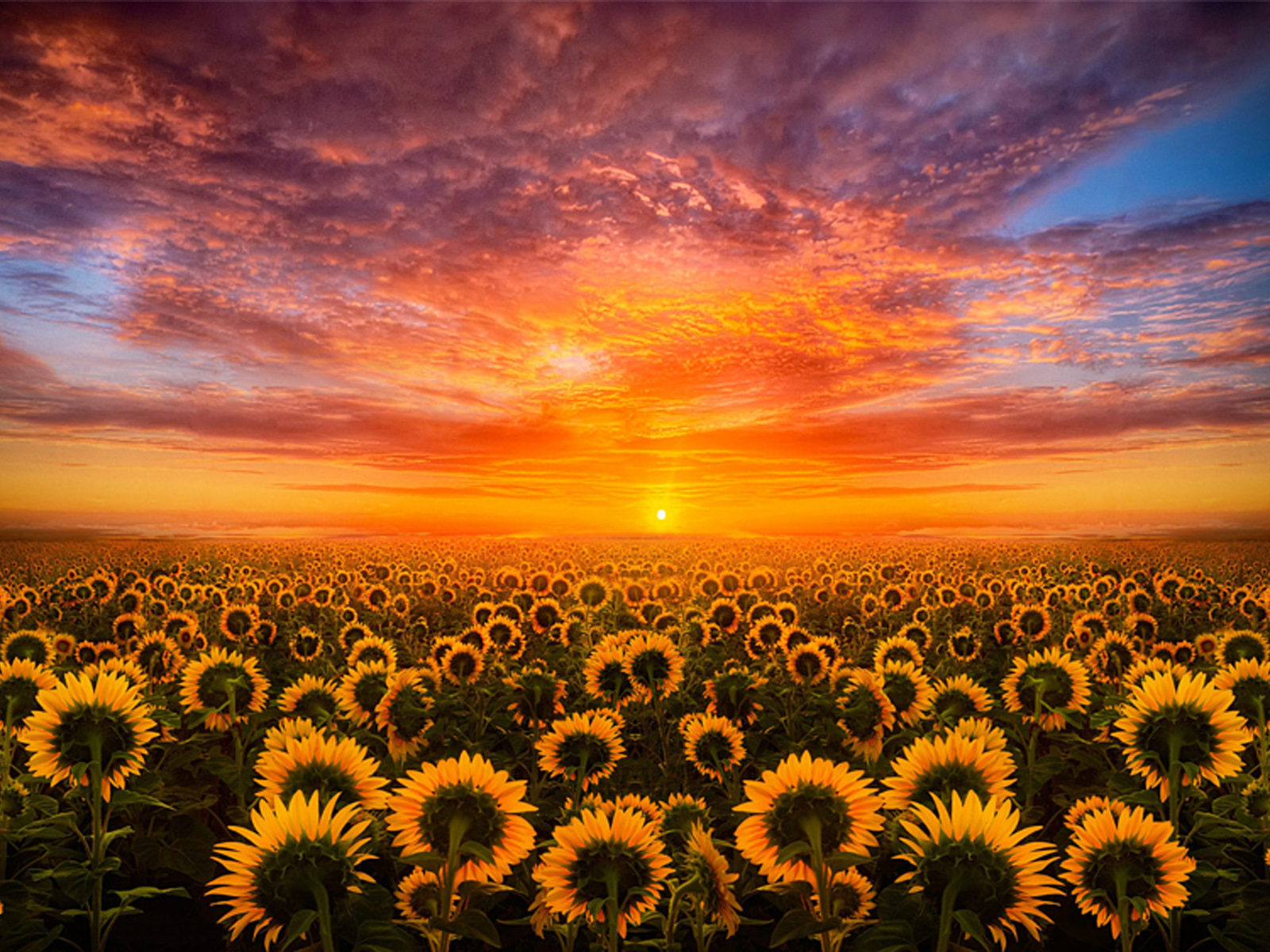 Fall Sunflower Desktop Wallpaper Sunset Red Sky Cloud Field With Sunflower Hd Desktop