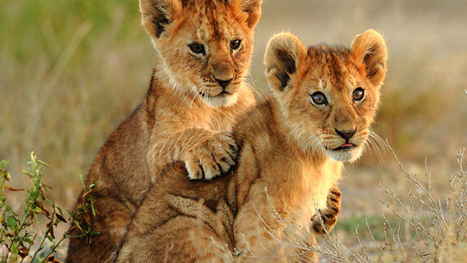 Cute Young Couple Hd Wallpaper Two Small Lions Cubs Hd Wallpaper For Laptop