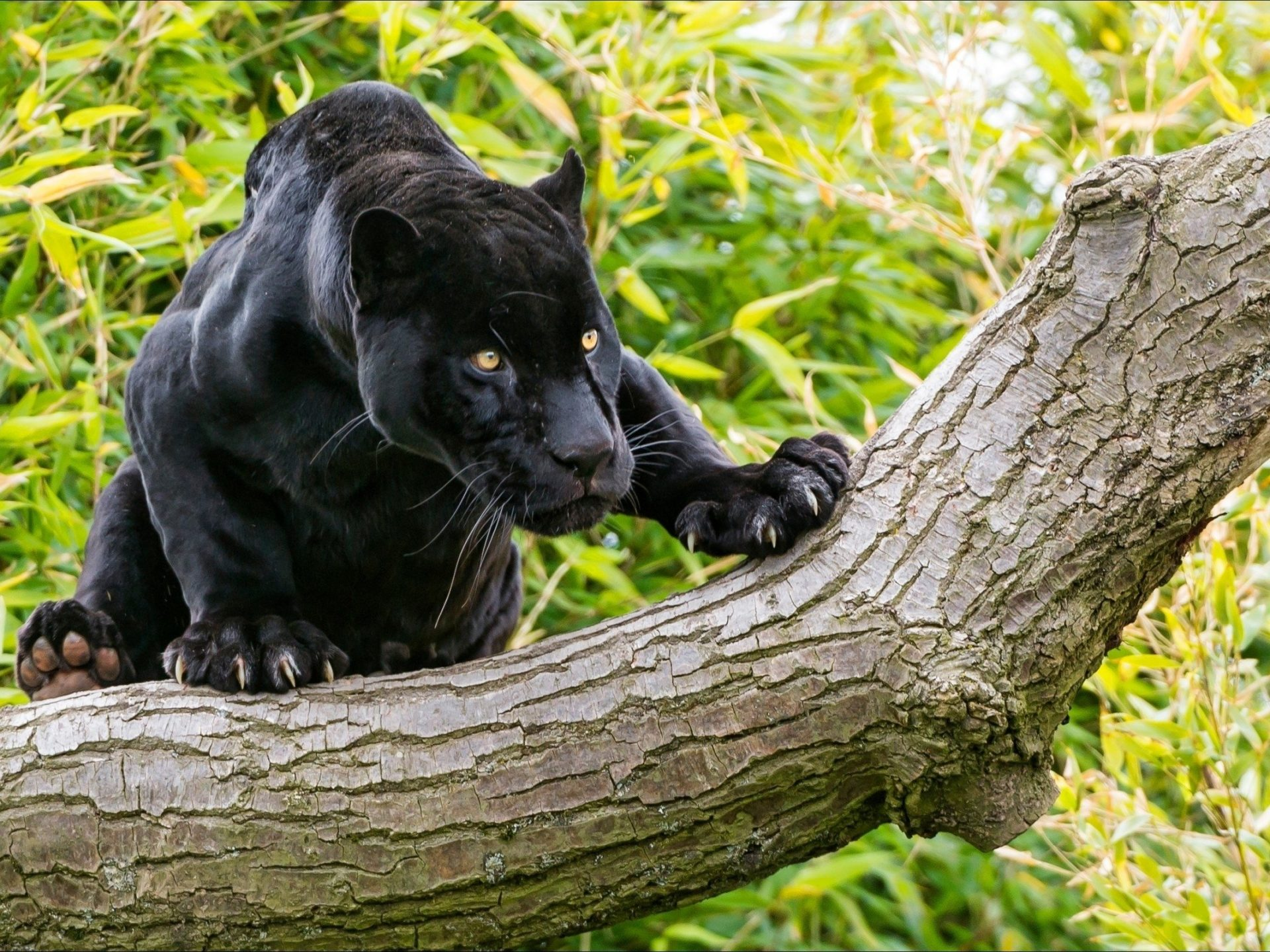 Cute Baby Sleeping Wallpapers Animals Black Panther On A Tree Desktop Wallpaper Hd