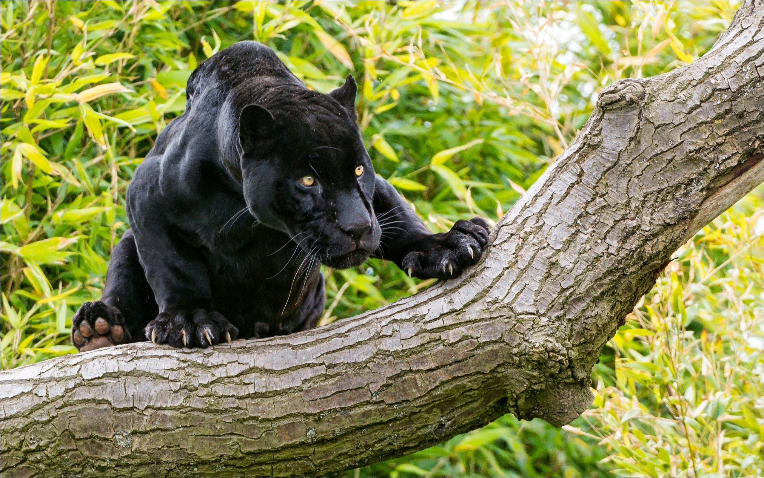 Jaguar Iphone Wallpaper Animals Black Panther On A Tree Desktop Wallpaper Hd
