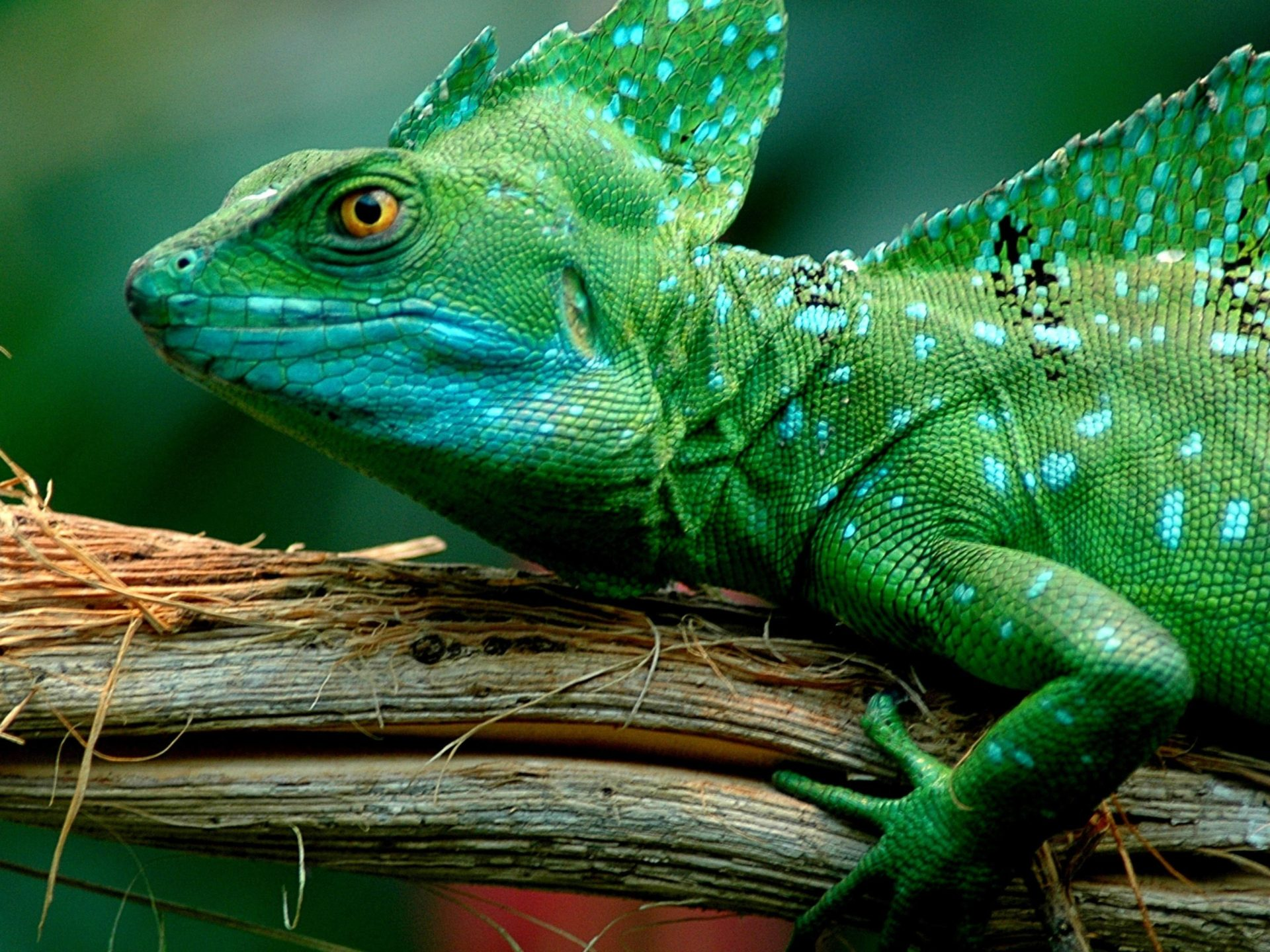 3d Grass Wallpaper Animals Green Basilisk Lizard Desktop Wallpaper Full