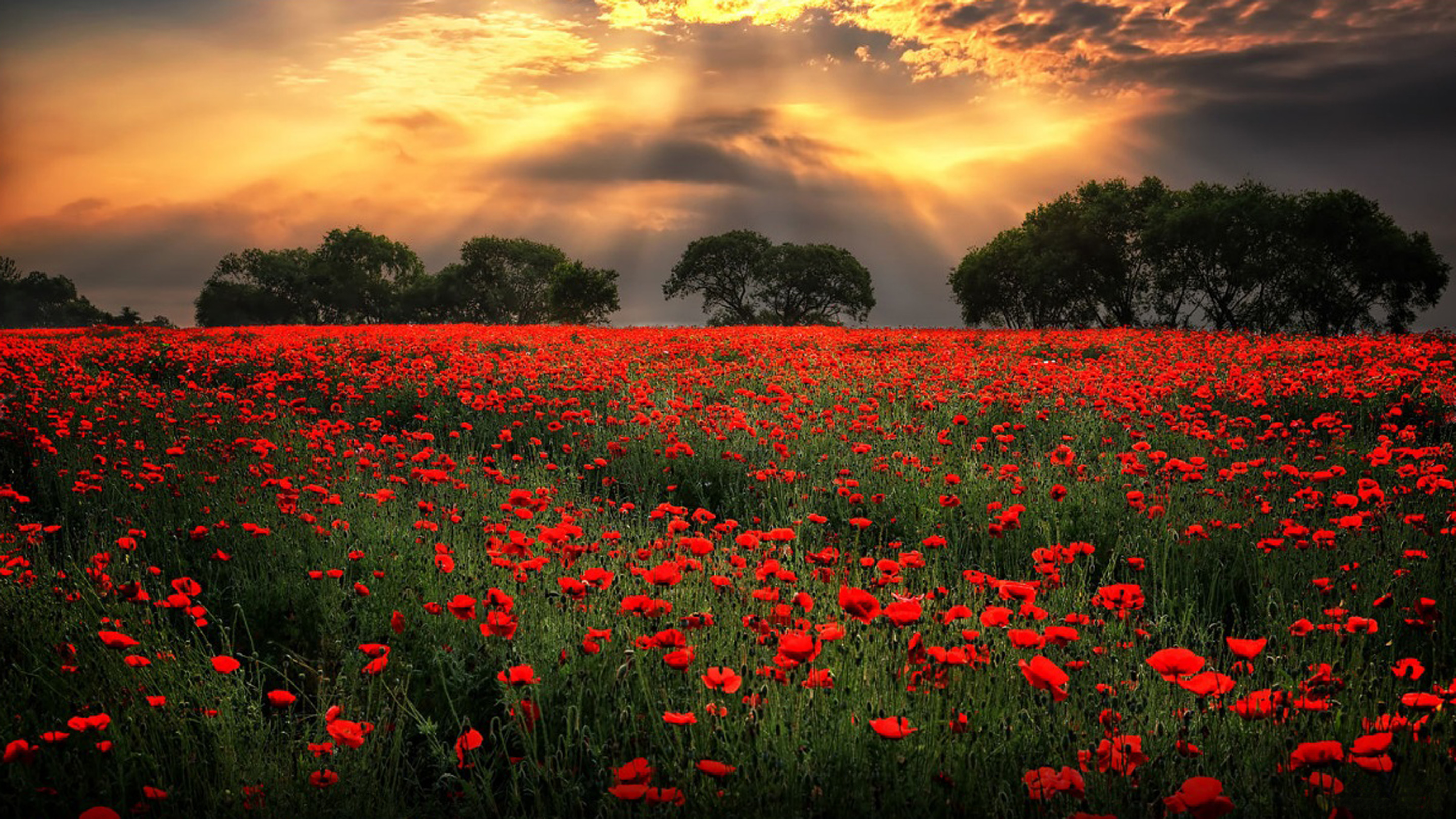 Poppy Wallpaper For Iphone Field With Red Poppies Morning Sunlight Through Dark