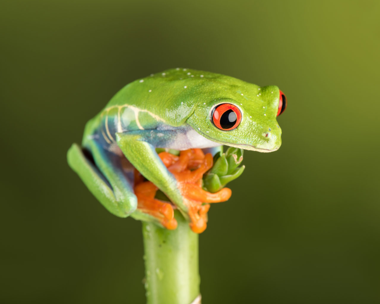 Iphone X Wallpaper Stock Hd Red Eye Tree Frog Where Next Wallpapers13 Com