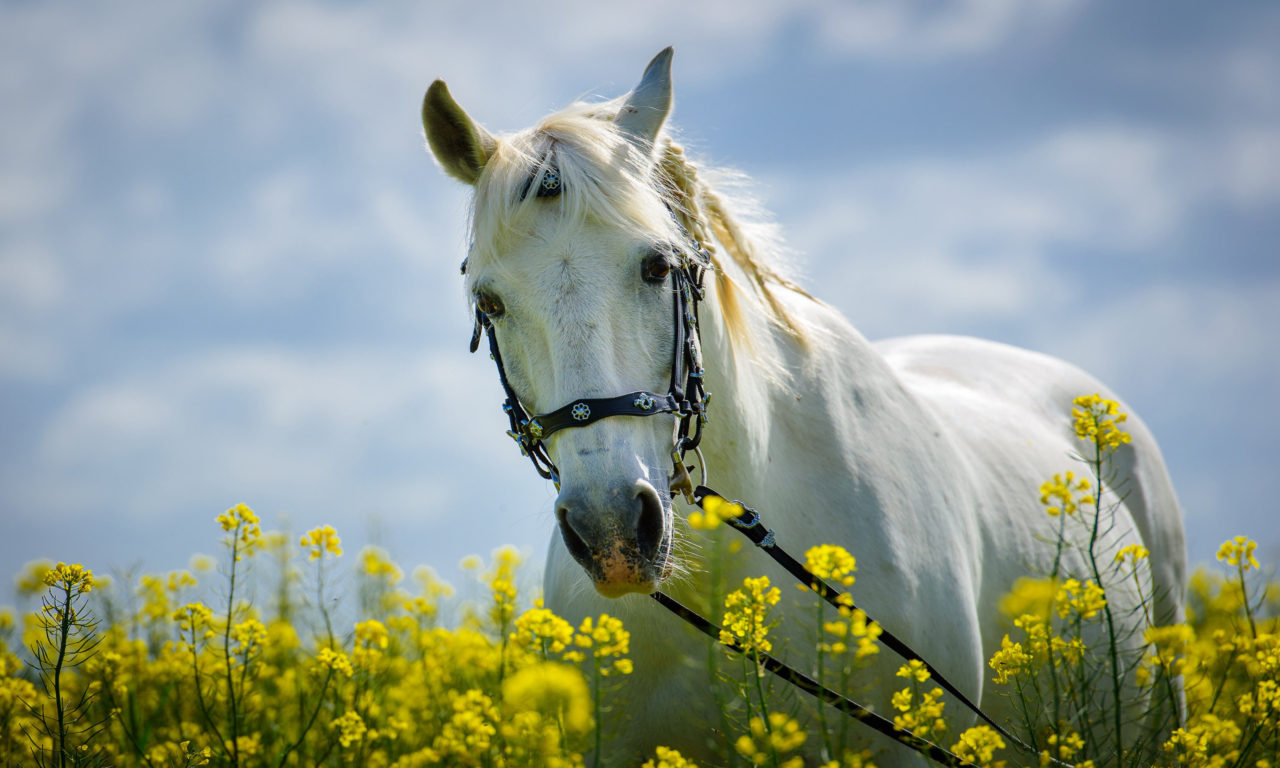 Cute Bunny Wallpaper Hd Horse In Field With Yellow Flowers Meadow Desktop Hd
