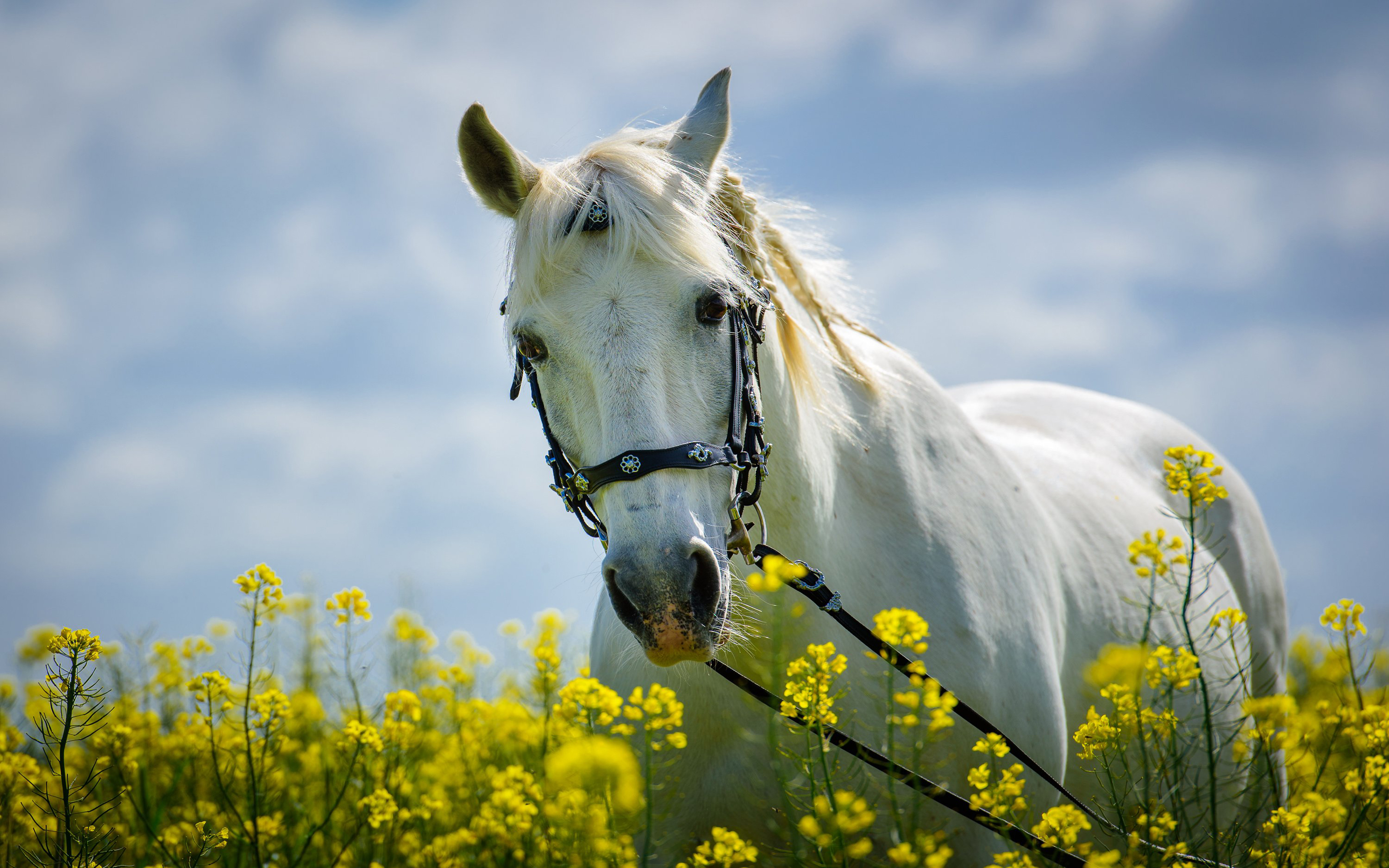 Cute Animals Hd Wallpapers Free Download Horse In Field With Yellow Flowers Meadow Desktop Hd