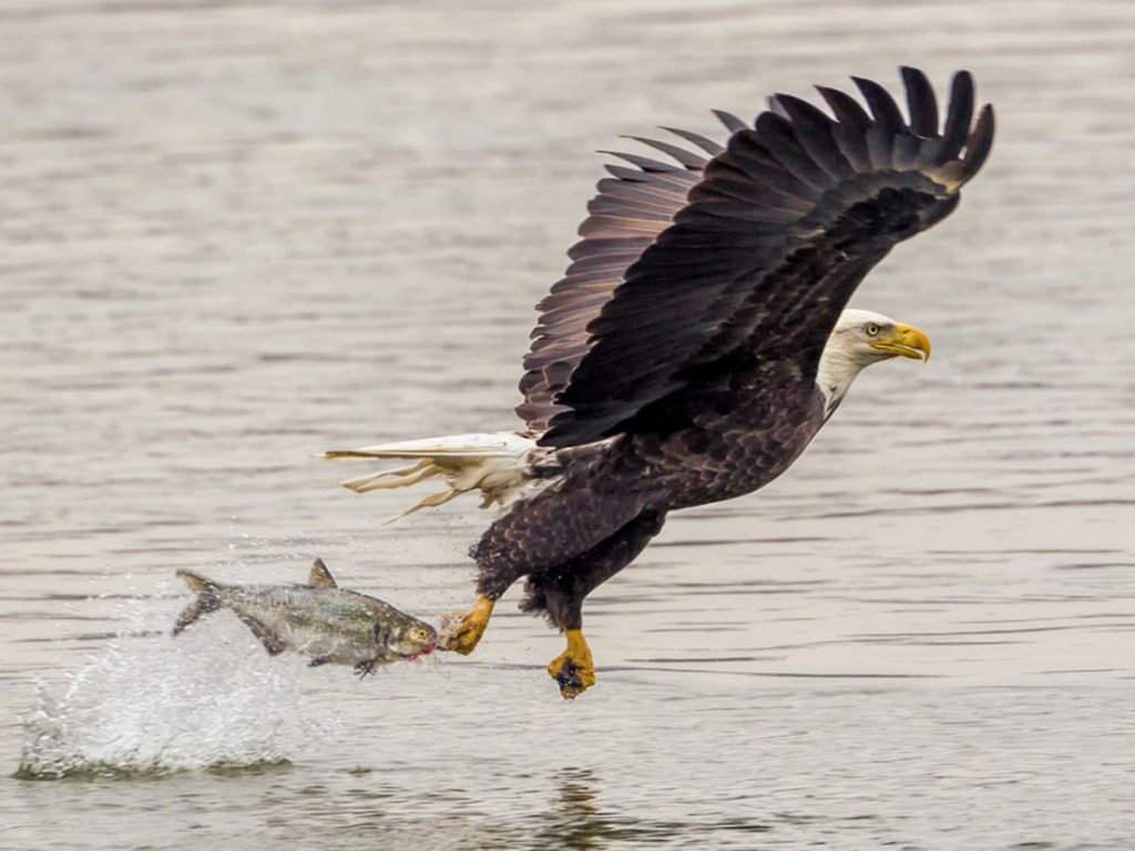 Baby Animals Hd Wallpapers Bald Eagle Catching Fish Lightning Attack Desktop