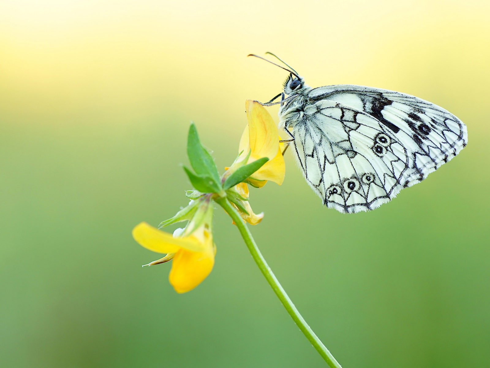 Animated Christmas Wallpaper For Android Black And White Butterfly On A Yellow Flower Desktop