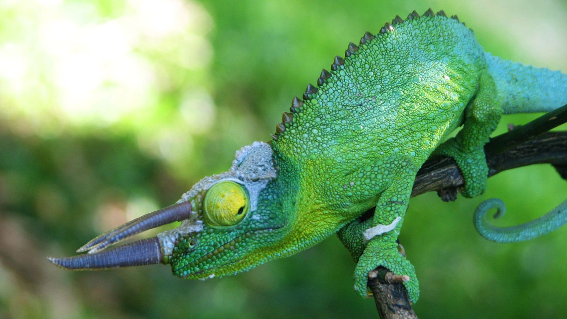 Hd Car Wallpapers For Tablet Green Chameleon From The Island Of Maui Hawaii Hd Desktop