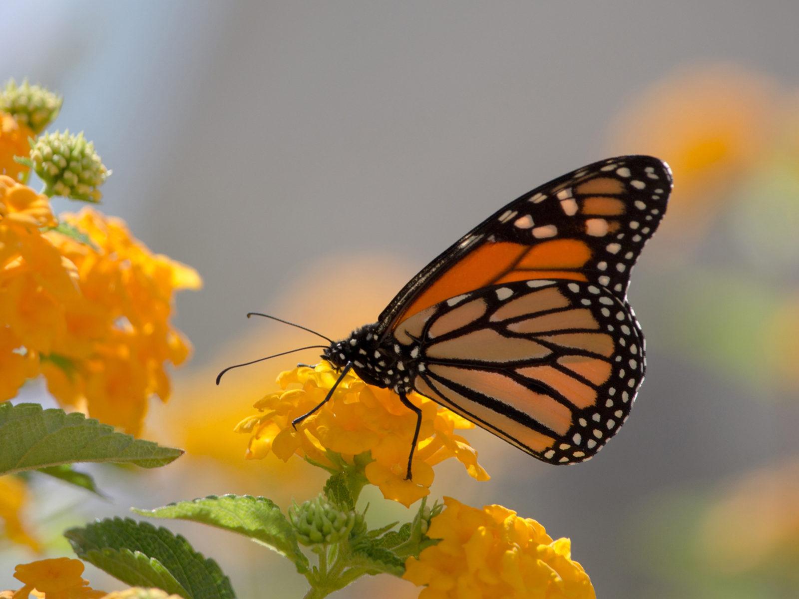 Green Wallpaper Iphone 5 Monarch Butterfly And Yellow Lanthana Desktop Wallpaper