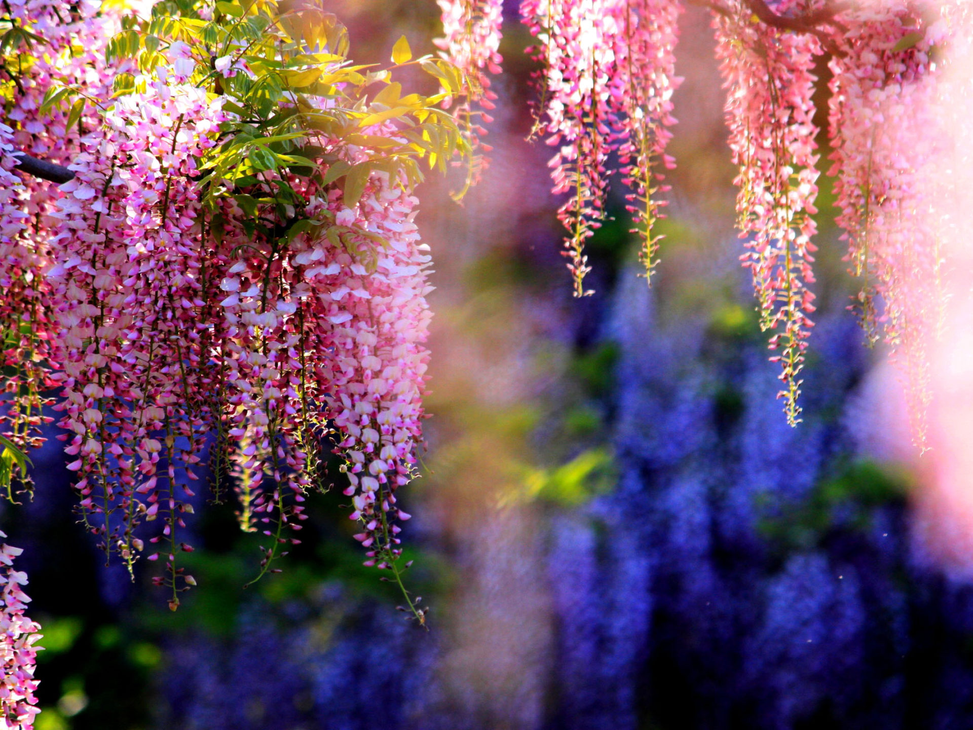 White Iphone 5 Wallpaper Hd Pink Wisteria Tree With Beautiful Flowers Seeds Of All