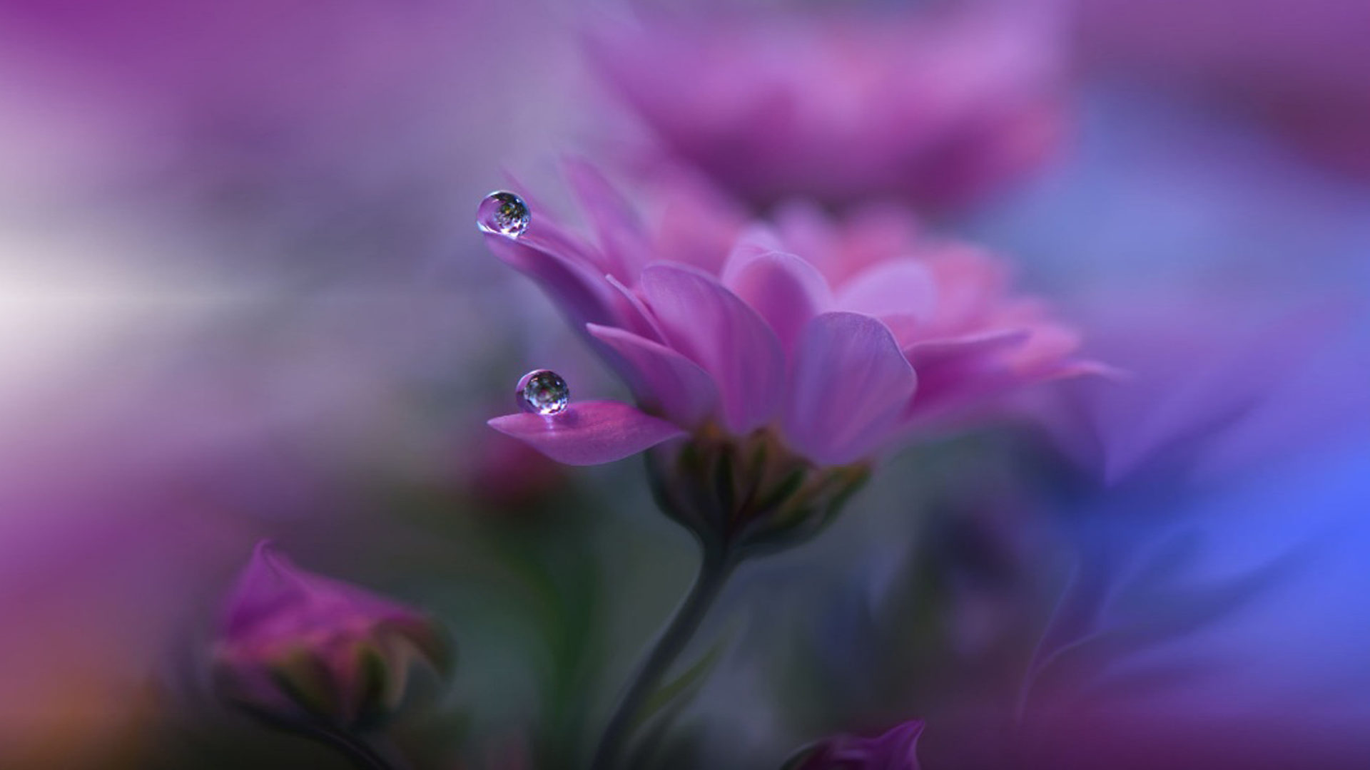Cute Pink Wallpaper 1980 Purple Flowers Drops Water Desktop Backgrounds 1920x1200
