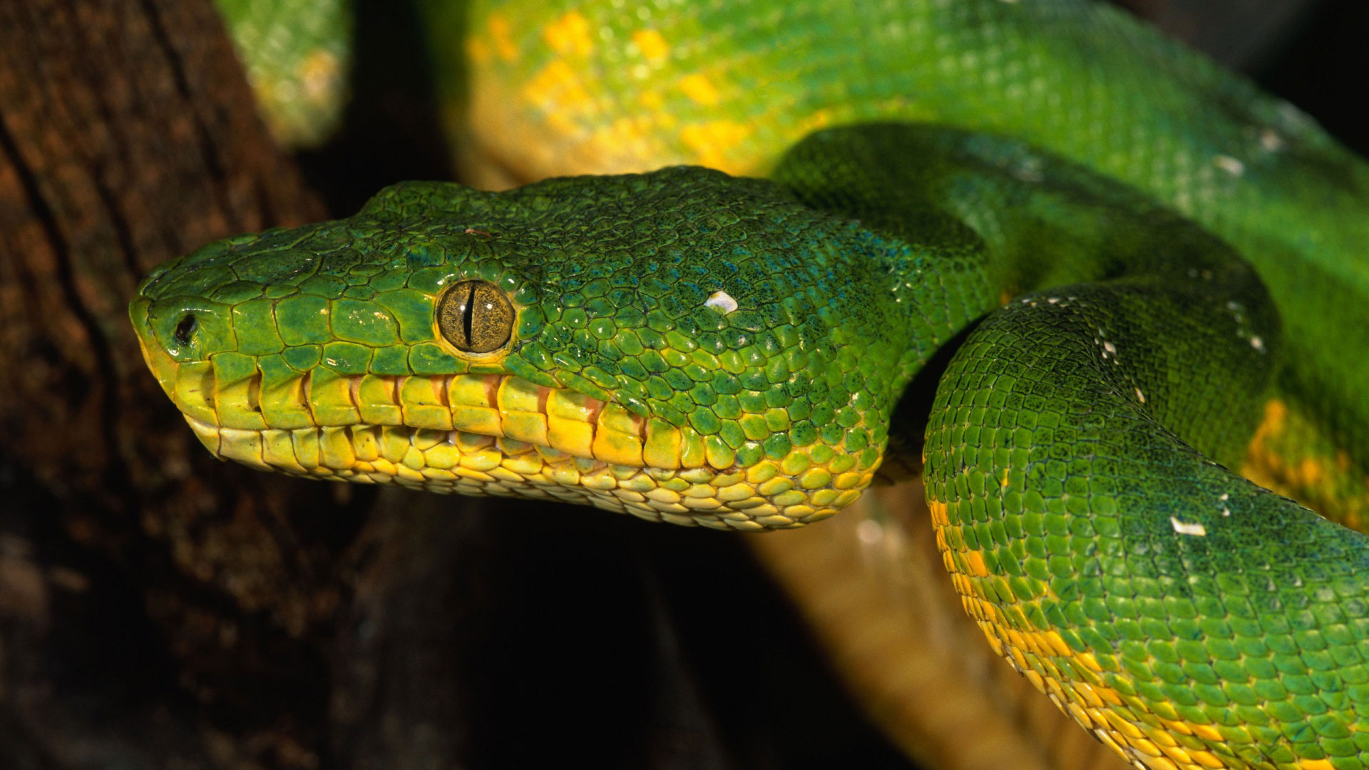 Cute Baby Animal Pictures Wallpapers Yellow Green Snake Widescreen Hd Resolution 1920x1080