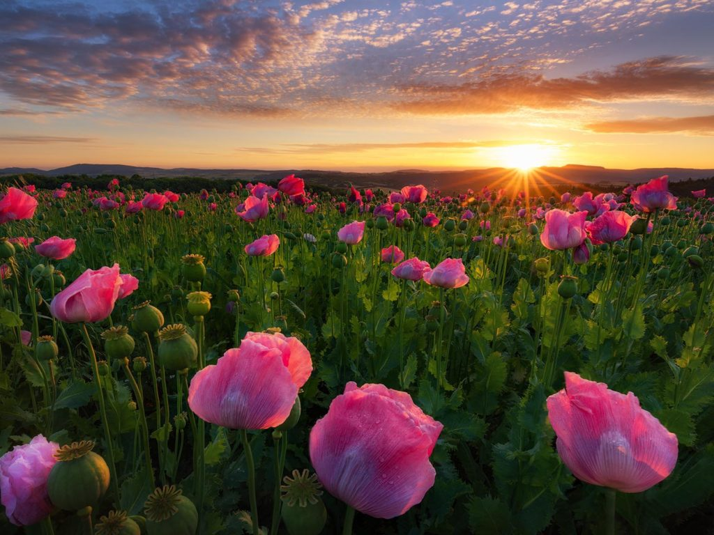 Poppy Wallpaper For Iphone Sunrise Field With Pink Poppy Germany Hd Wallpaper For