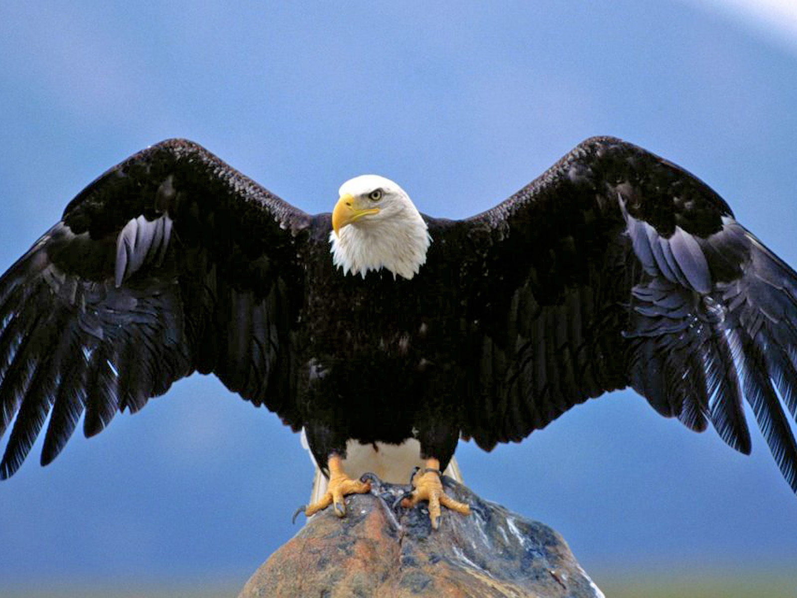 Hd Car Wallpapers For Android Mobile Full Screen Bald Eagle Spread Wings Desktop Hd Wallpaper For Pc Tablet