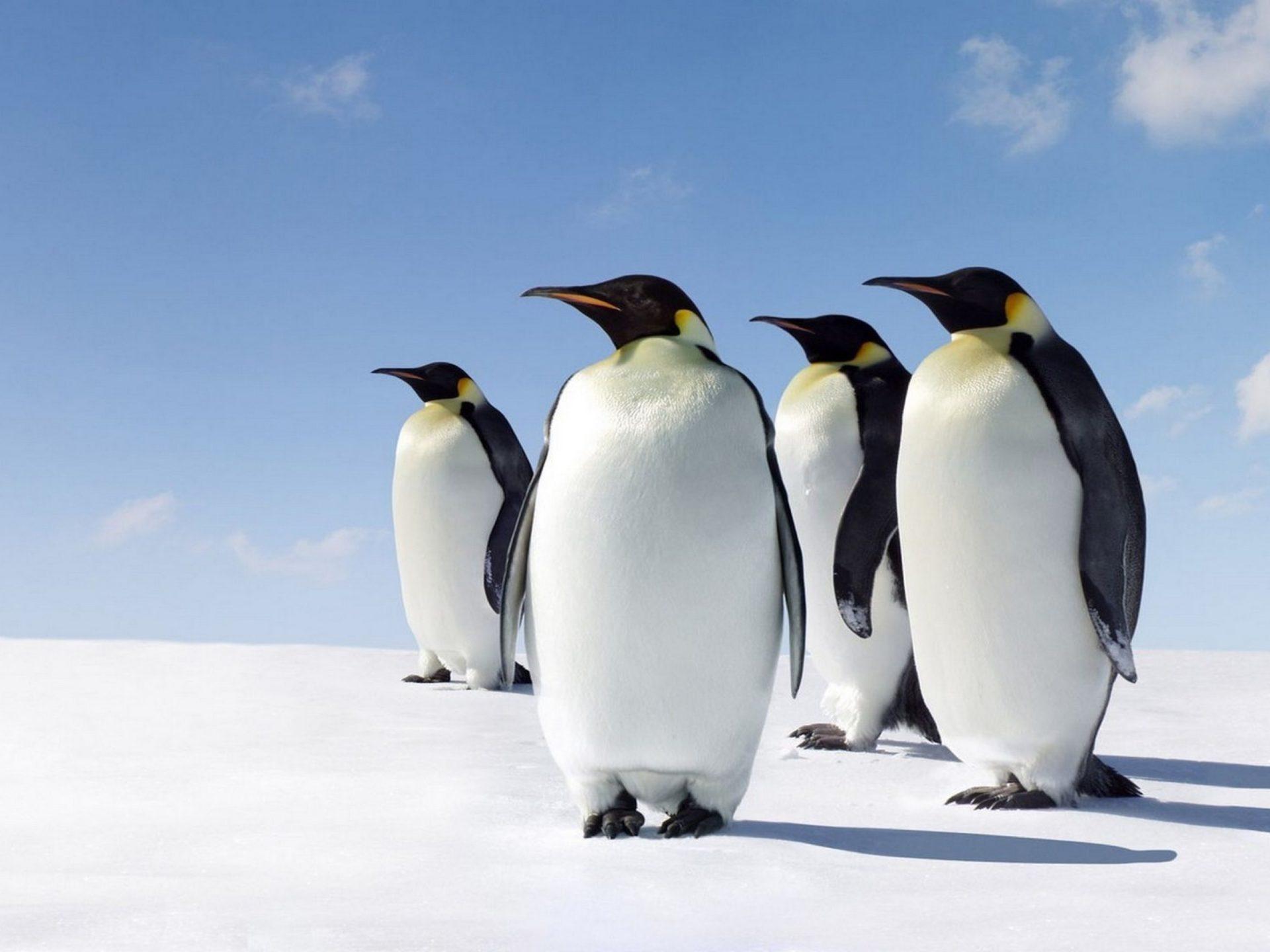 White Iphone 5 Wallpaper Hd Penguins Morning Sun Antarctica Desktop Hd Wallpaper For