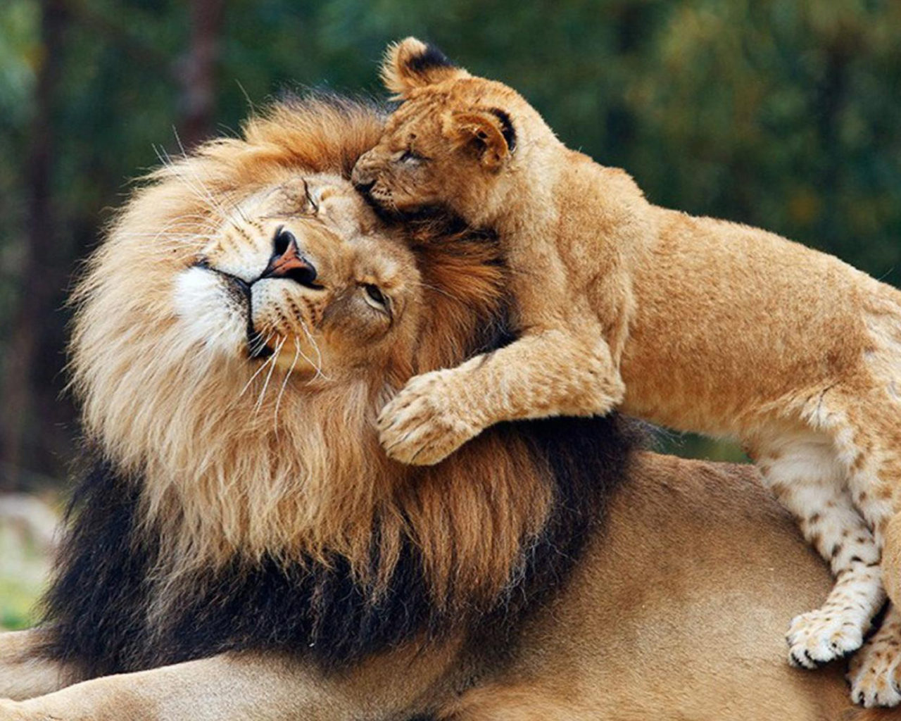 Lion Hd Wallpapers For Iphone Lions Game Between Parent And Cub Lion Wallpaper Hd