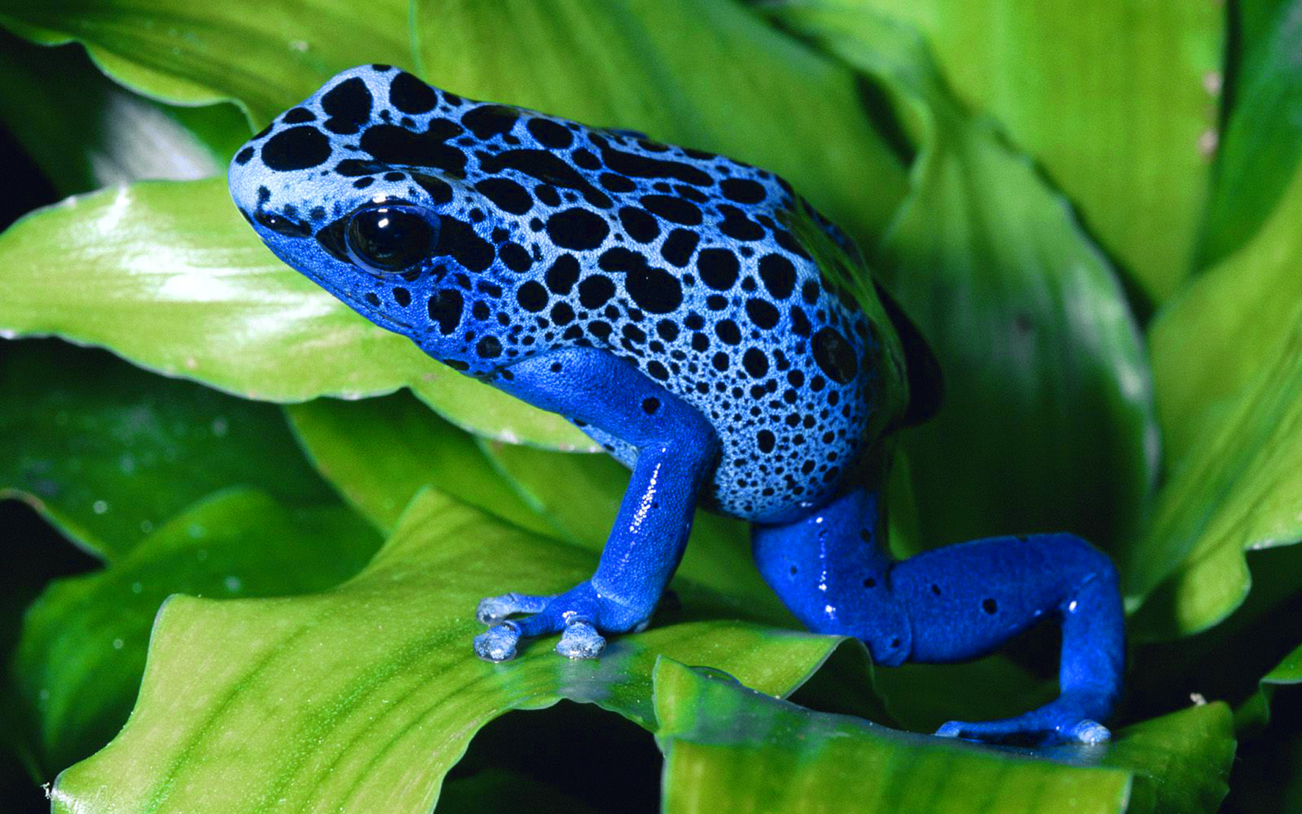 Stunning Black Wallpapers Poisonous Frog With Unusual Blue Desktop Wallpaper Hd Free