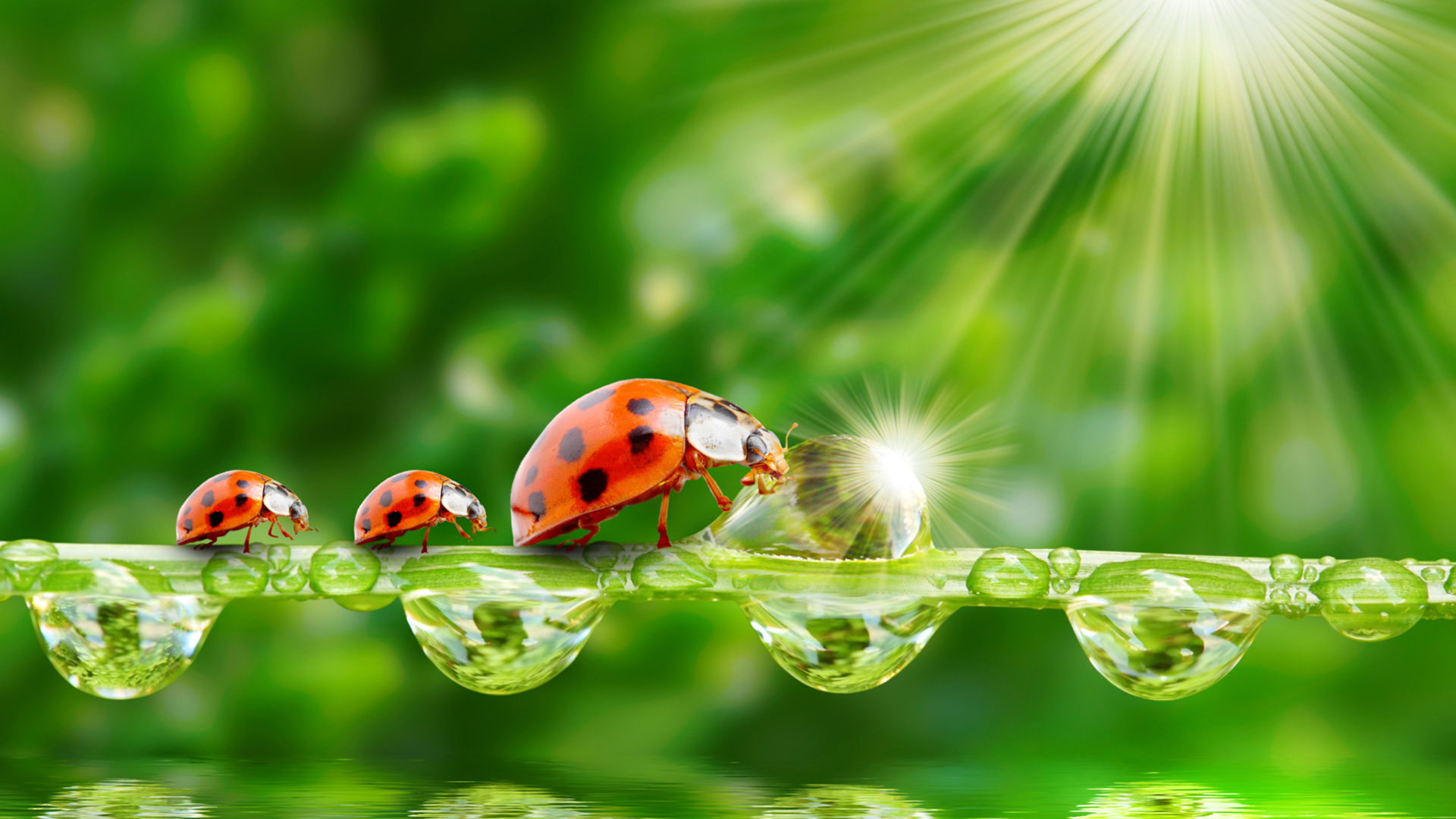 Cute Animated Hd Wallpapers Ladybug Sun Rays Grass Morning Dew Drops Water Wallpaper