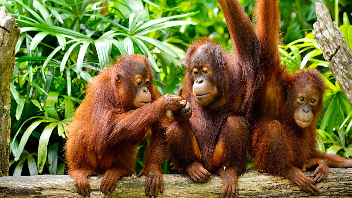 Wallpaper For Tablet Cute Jungle And Borneo Island Malaysia Cute Family Orangutans