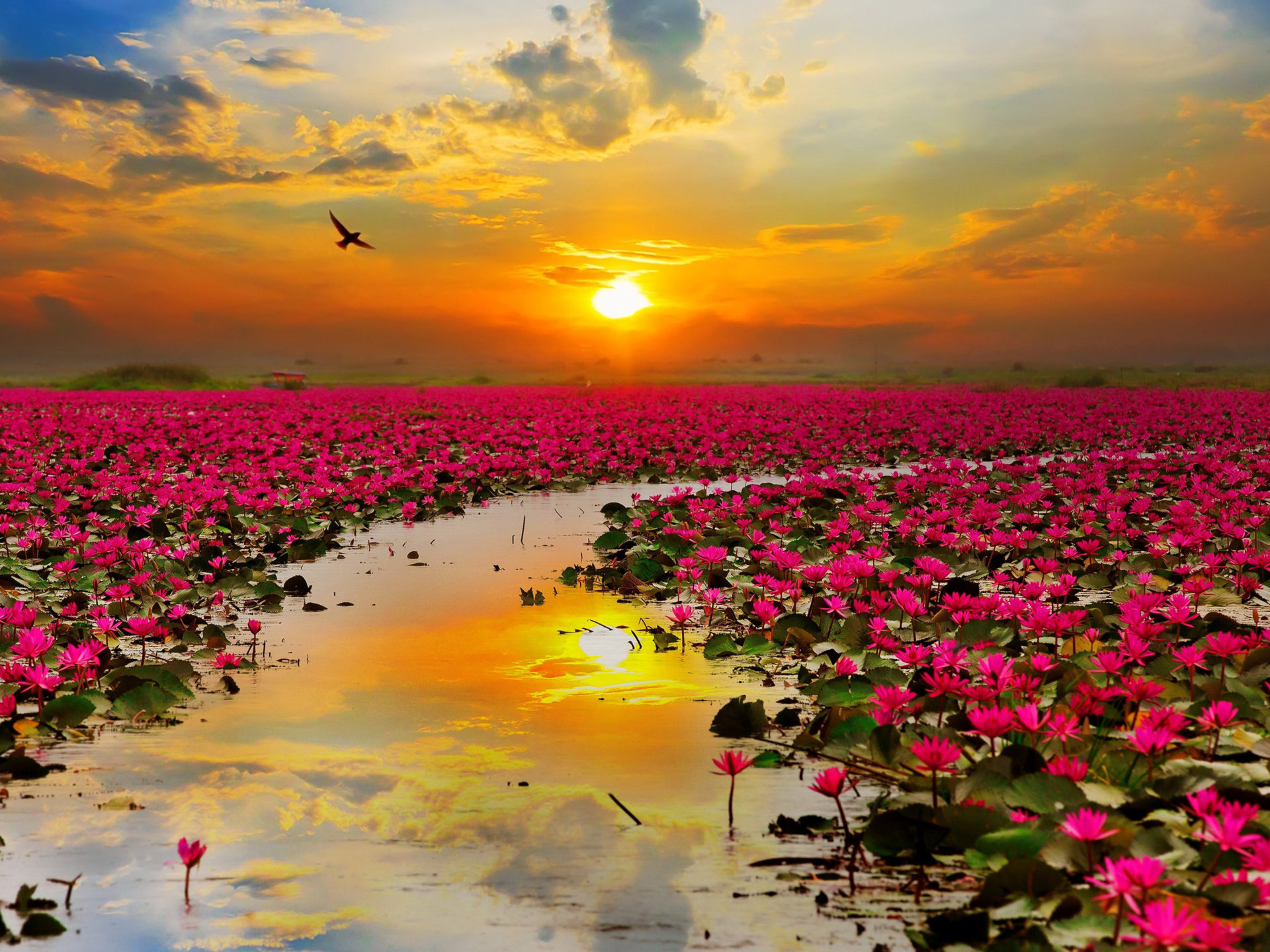 Hd Wallpaper Sea Beach Lotus Red Flowers Sunset Sun Rays The Red Sea In The