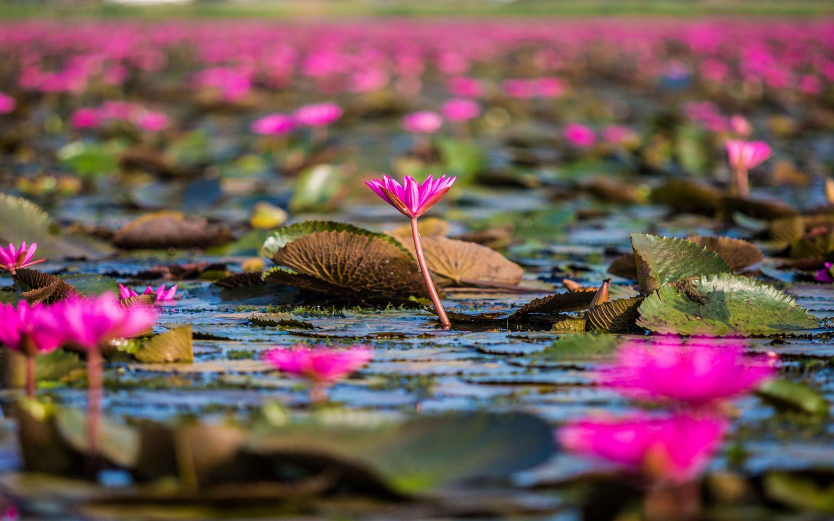 Fall Autumn Desktop Wallpaper Red Flowers Lotus Lake Thale Noi Thailand Hd Wallpaper