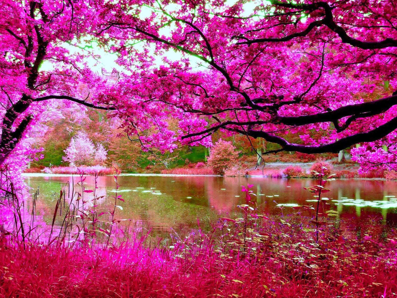 Christmas Wallpaper Animals Cherry Blossoms Spring Pink Cherry Tree River Nature Hd