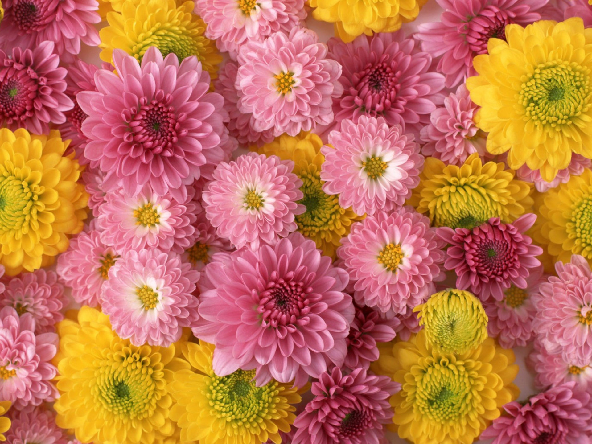 Red Flower Wallpaper Hd Chrysanthemums Flower Beautiful Flowers With Lights Color
