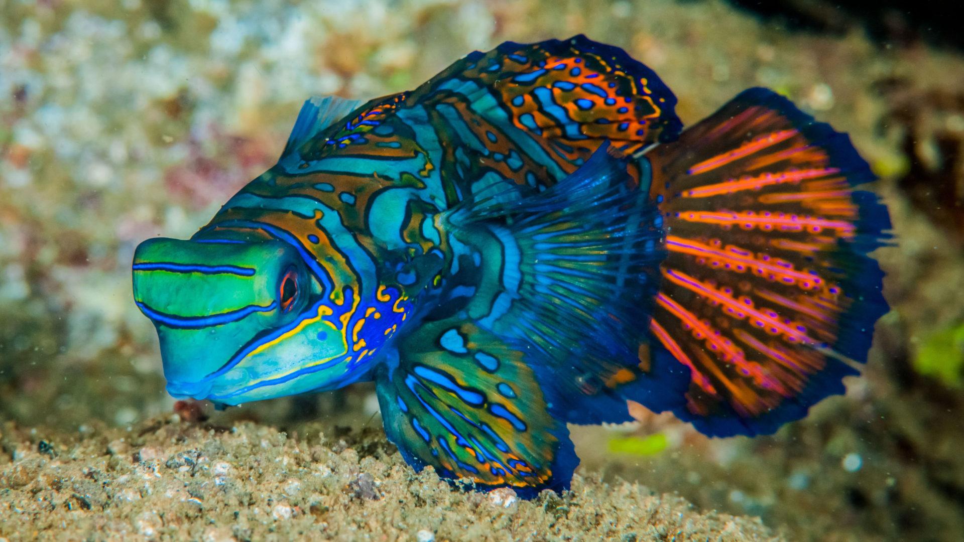 Wallpaper Aquarium 3d Mandarinfish Fish Is A Small Exotic Colorful Fish Of The