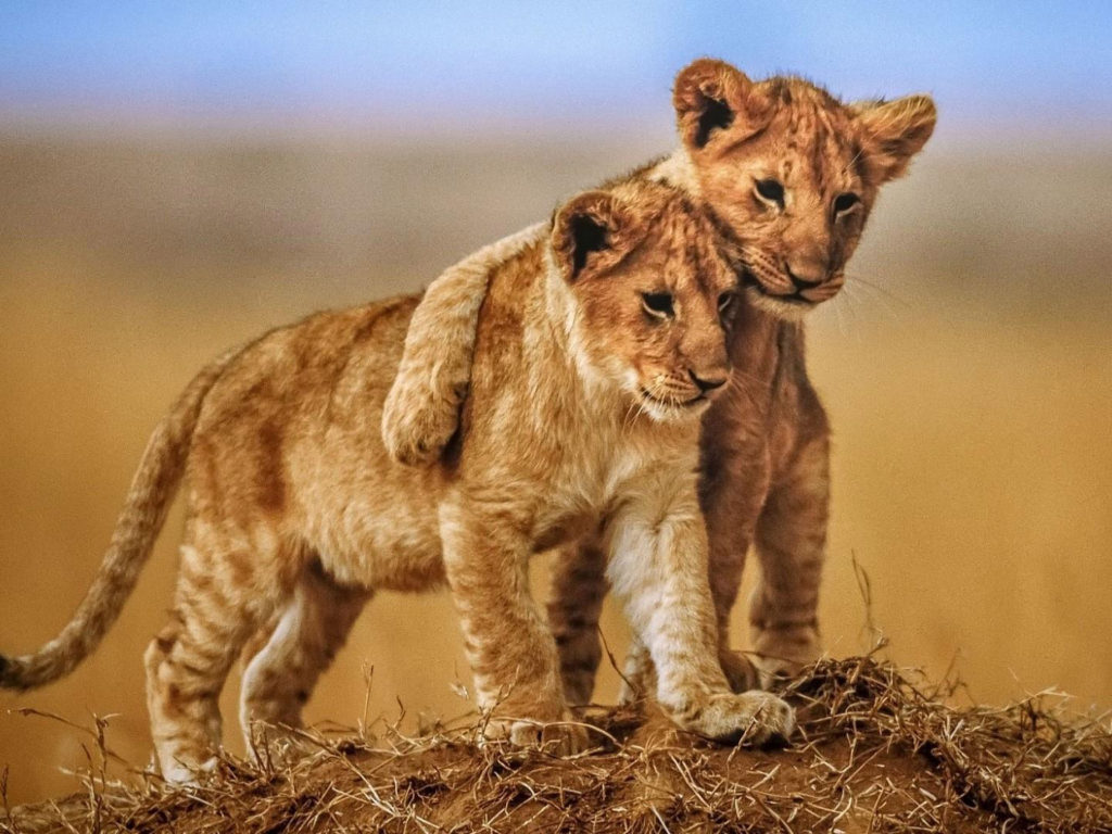 Cute Mother And Baby Wallpapers Brotherly Love Lion Cubs Photo Animals From Savannah