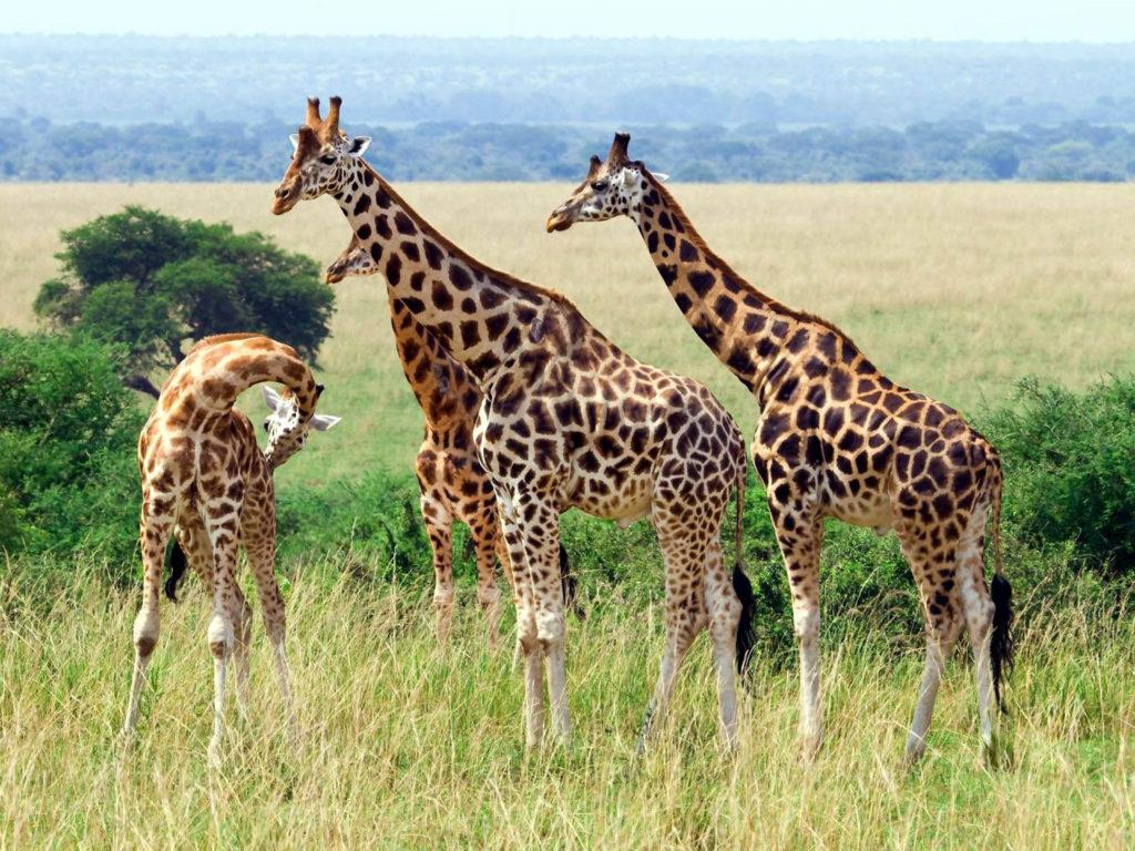Cute Lock Screen Wallpapers Desktop Animal Giraffe African Mammals Eats Wattles Gestation