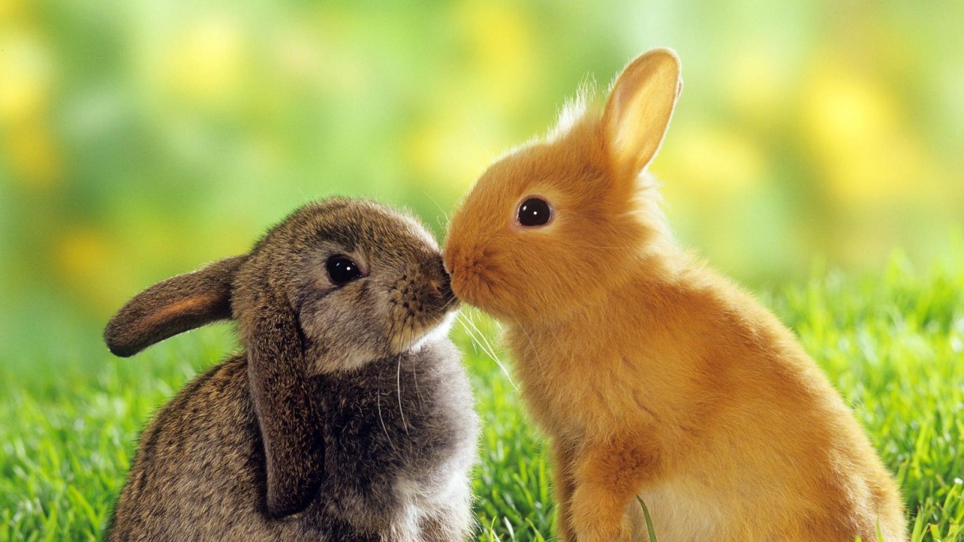 Boy Girl Kiss Hd Wallpaper Download Wallpaper 1920x1080 Rabbit Couple Kiss Grass