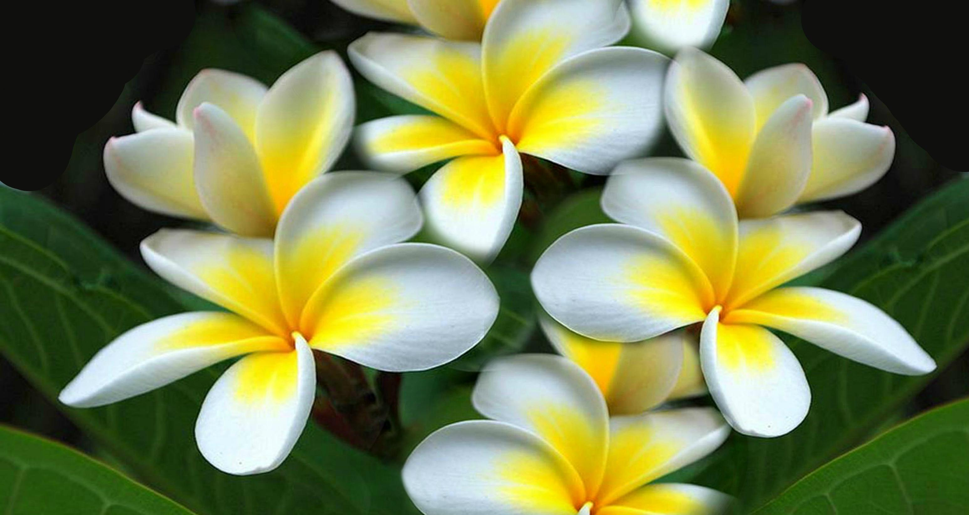 Free 3d Oakland Raiders Live Wallpaper Plumeria Wallpapers Hd Backgrounds