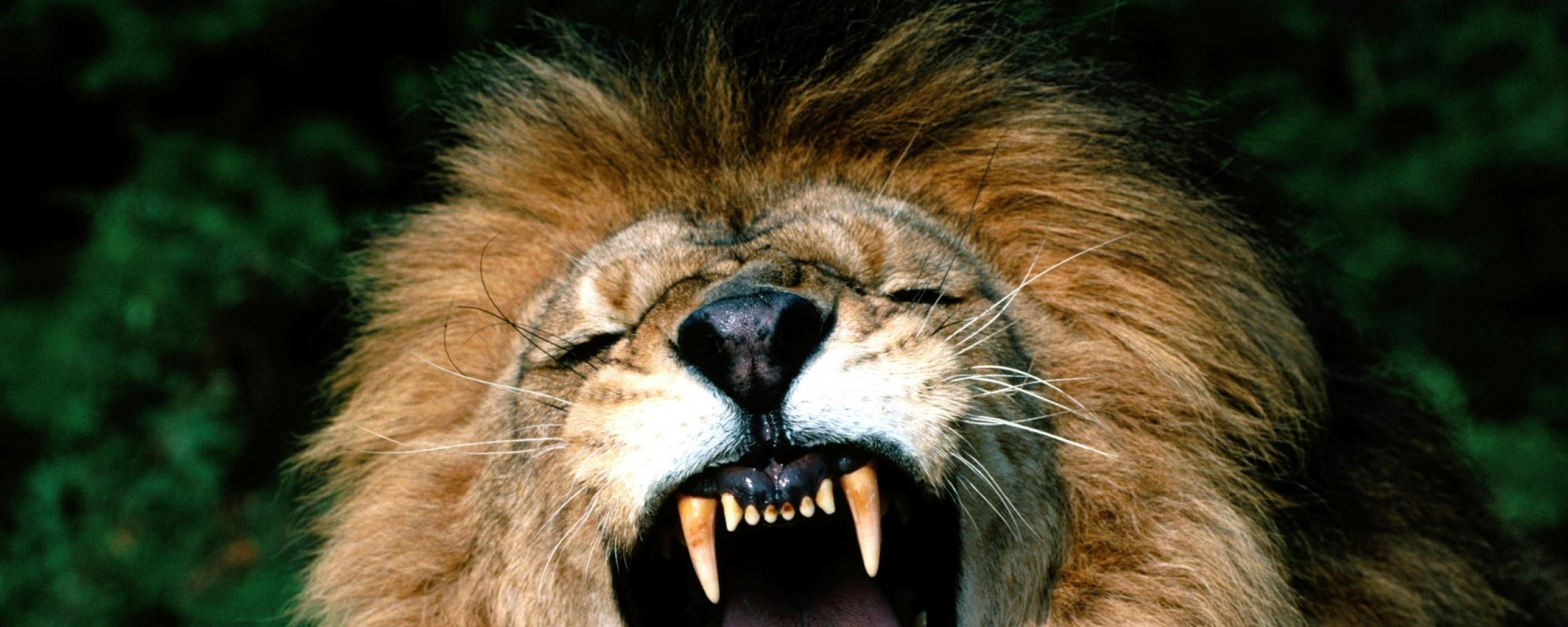 Samsung Galaxy S3 Wallpaper Quotes Download Angry Lion Face Wallpaper Gallery