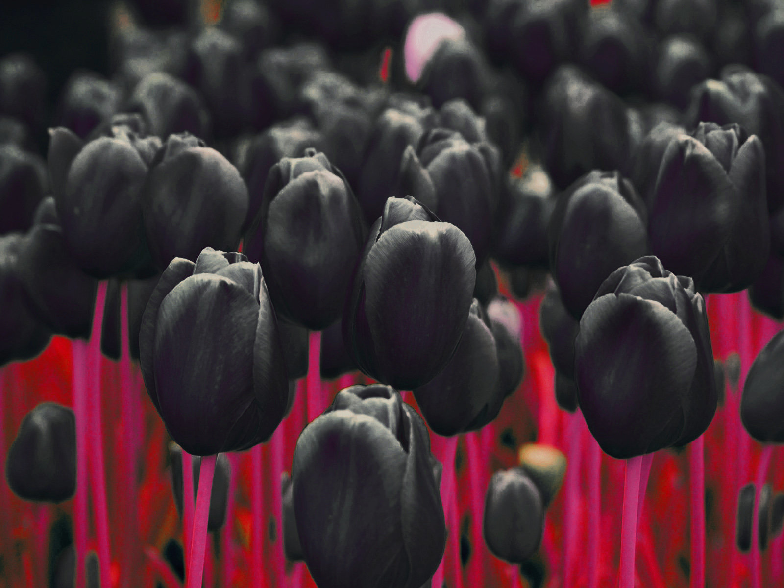 New 3d Wallpaper For Mobile Phone Download Black Tulip Wallpaper Gallery