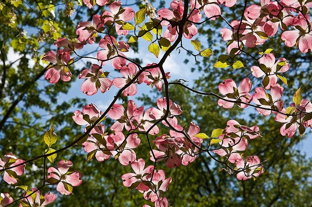 Name Live Wallpaper 3d Download Dogwood Tree Wallpaper Gallery