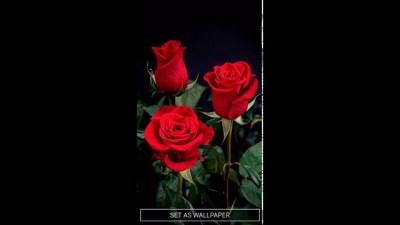 Download Live Wallpaper Red Rose Gallery